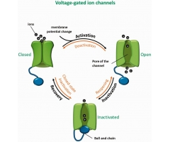 Voltage Gated Ion Channels